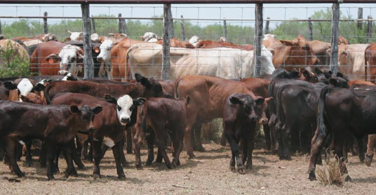 Specialists Provide Advice On Early Weaning Calves