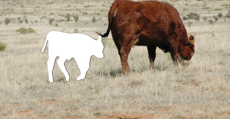 Solving Pregnancy Loss In Cattle