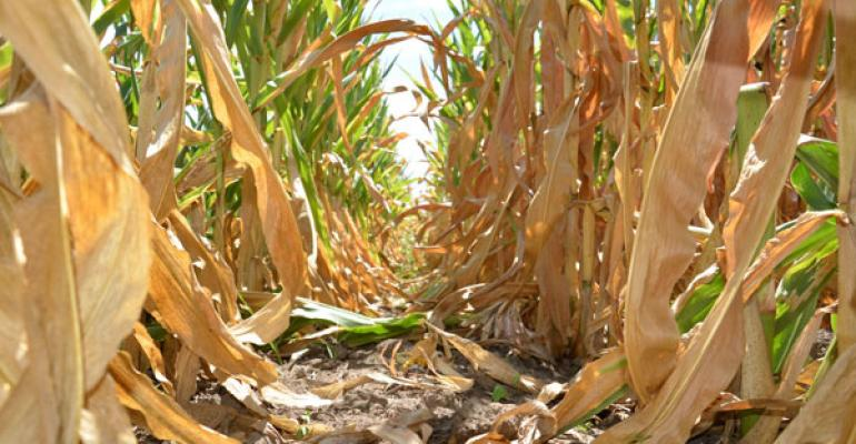 Corn Crop Continues To Jangle Industry Nerves