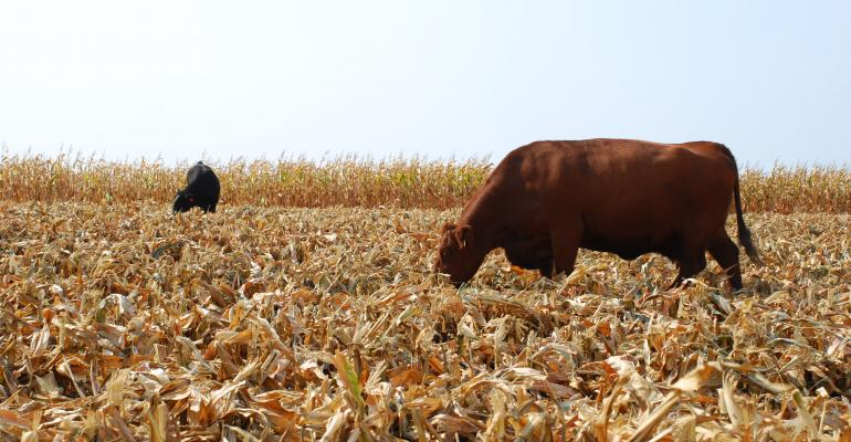grazing cornstalks as cattle feed