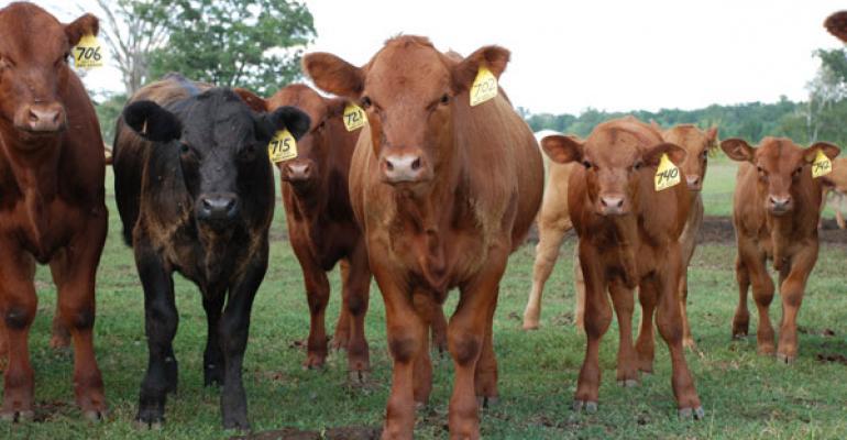 Recent Rains Alter Wheat Stocker Cattle Demand