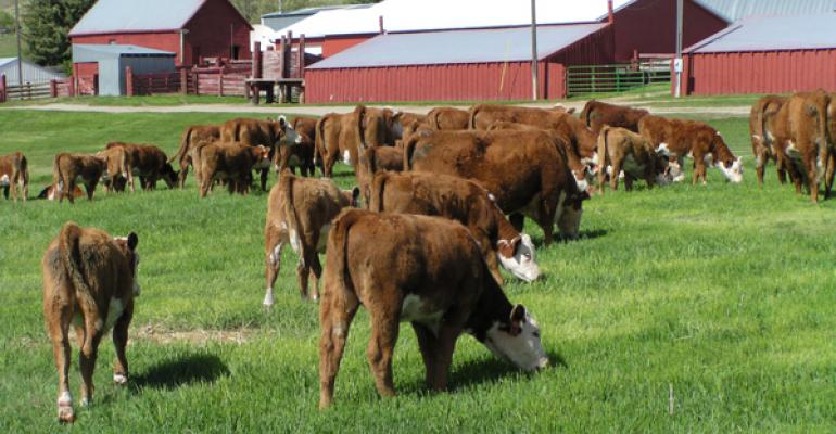 Hereford cattle grazing on grass