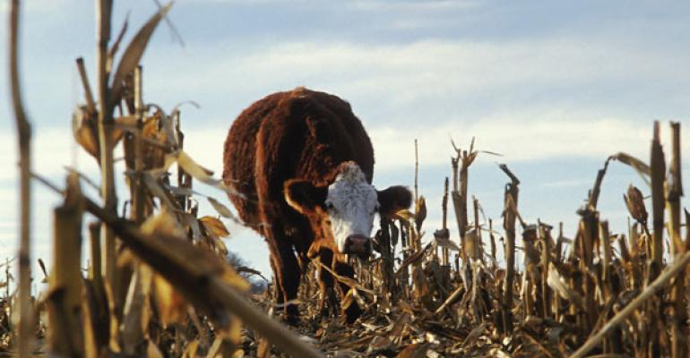 beware of droughtstressed corn stalks as cattle feed