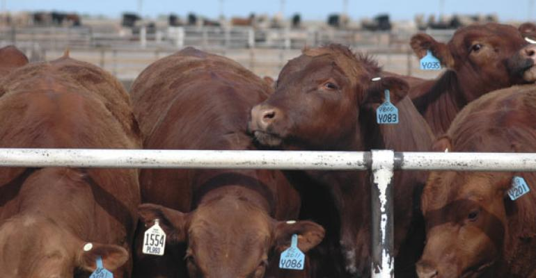 Cattle at Feed Bunk
