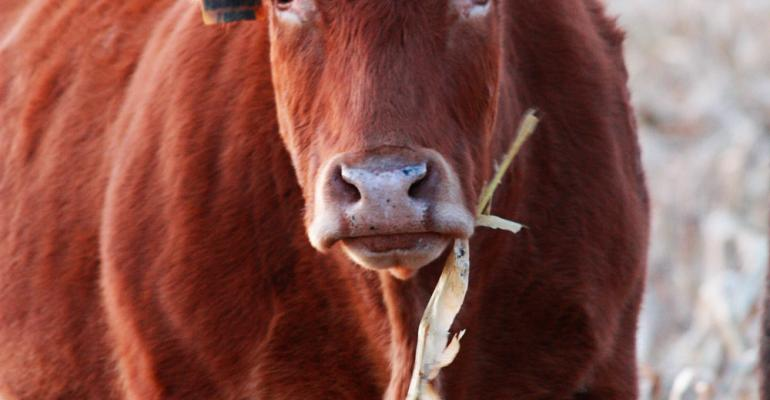 winter cattle feed tips