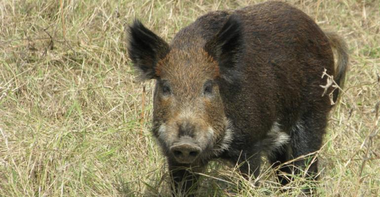 Feral Hogs Are A Growing Menace