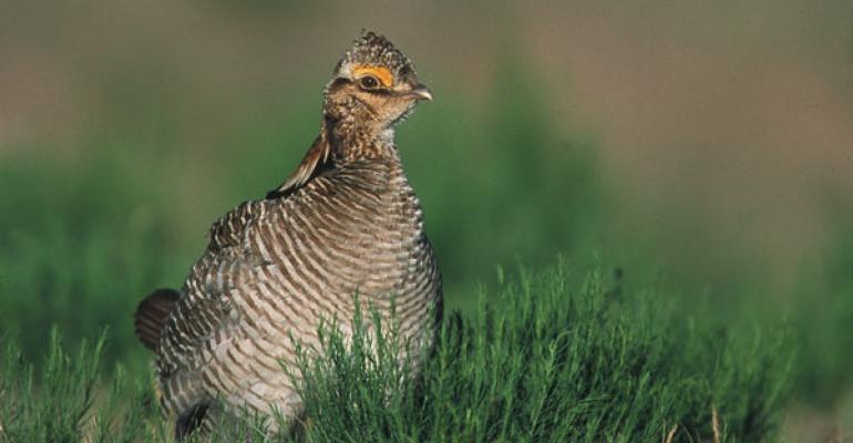 lesser prairie chicken habitat troubling ranchers