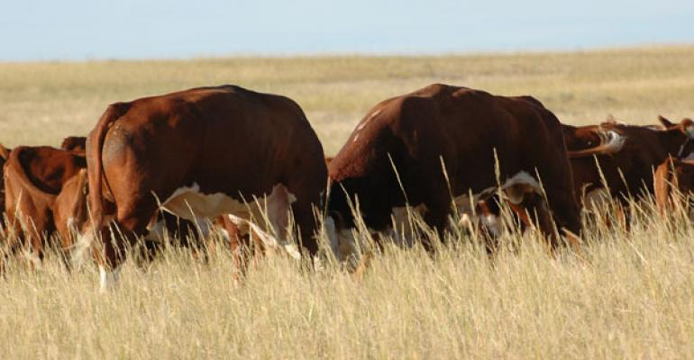 most productive beef bulls buying good genetics