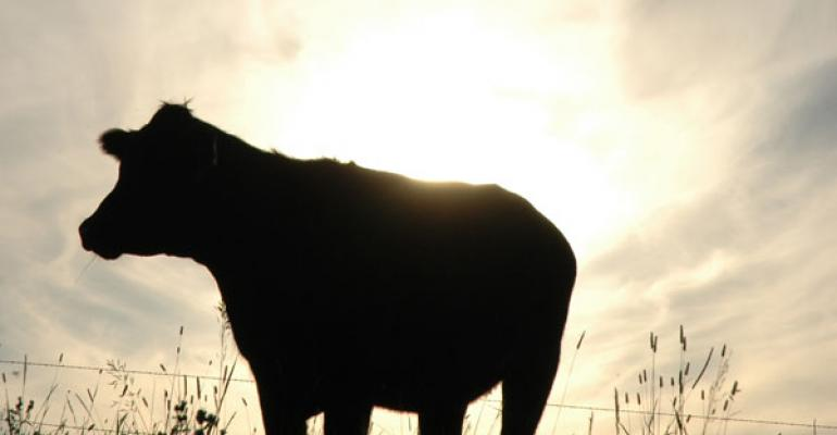 beef cow in sunset