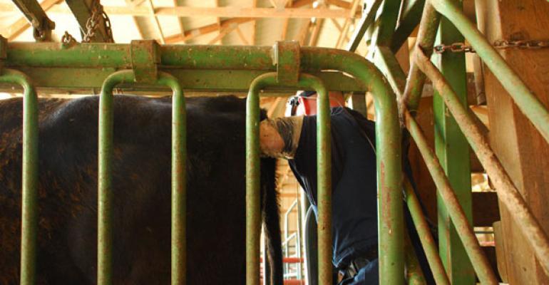 breeding cattle