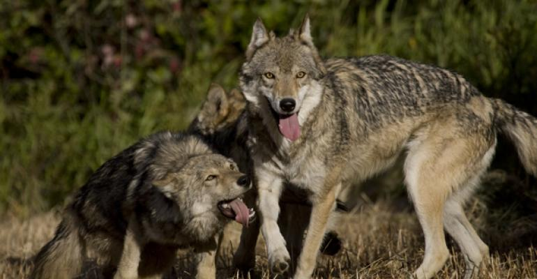 how researchers are tracking wolves and livestock interaction