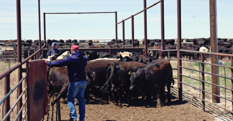 selling cattle on cash market