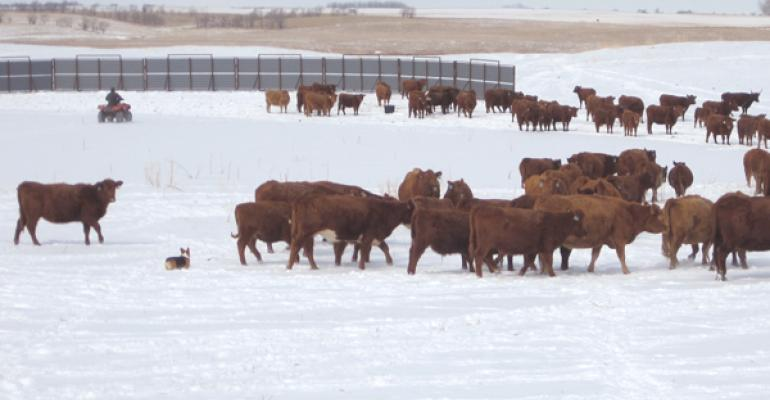 wintering calves with cows