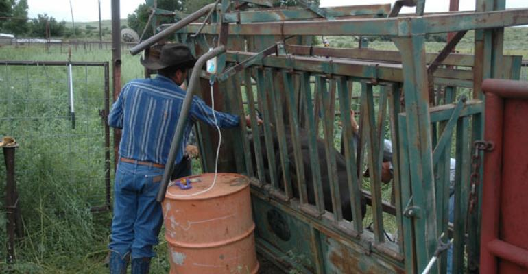 work beef cows every fall to improve profits