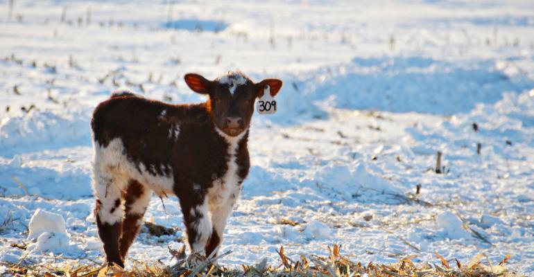 Managing Cattle, Equipment In The Cold