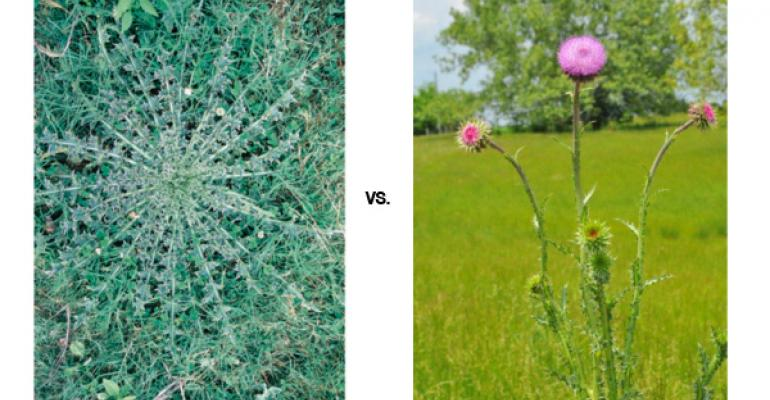 Which Thistle Do You Spray For Best Return On Investment?