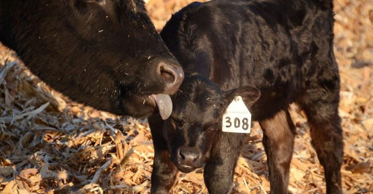 calving ease selection tips