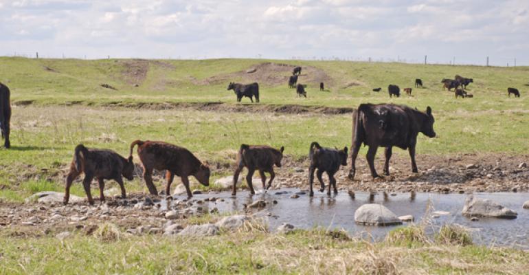 treating lepto in cattle