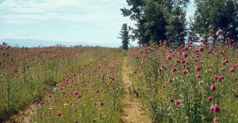 3 Tips For Stalking And Stopping The Wily Musk Thistle