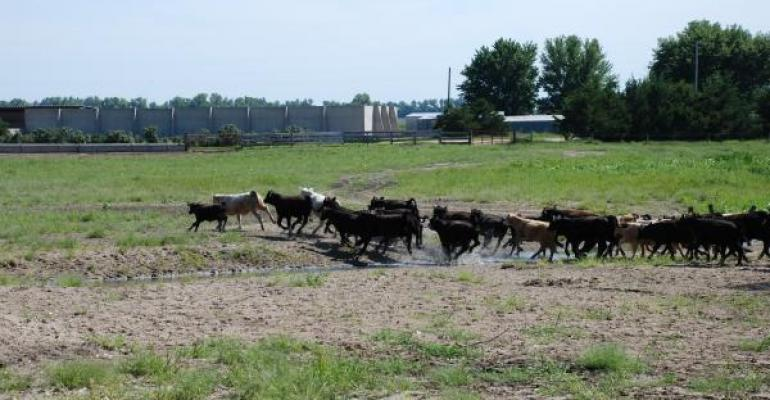 Battle For Grass Calves Stretches Prices Further