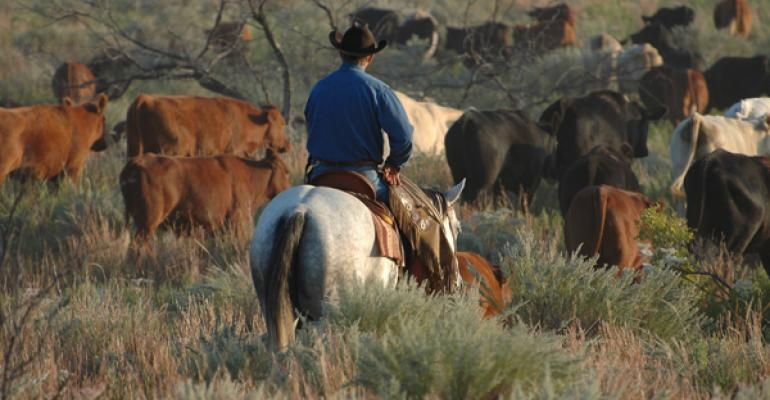 moving cattle with a horse