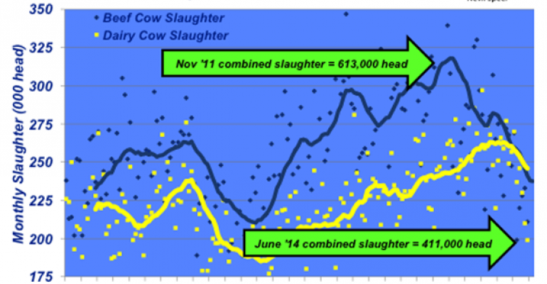 declining cow slaughter