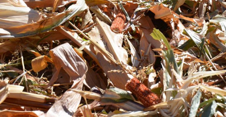 grazing corn stalks
