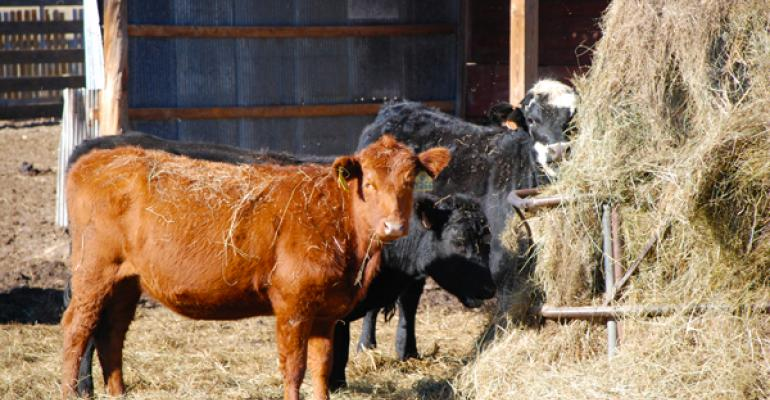 cattle ingesting hay bale twine
