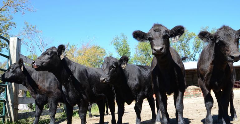 developing heifer calves