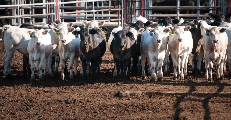 cattle genetics