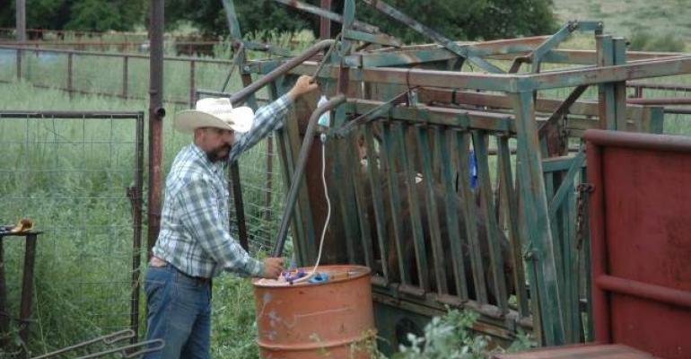 Vaccinating calves