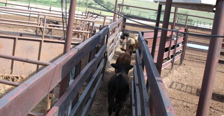 Calf market ratchets higher