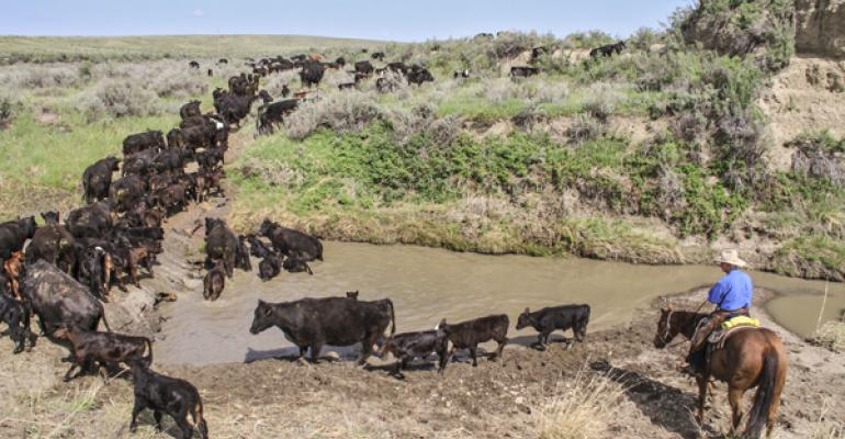 It's possible to pasture cattle without using fences