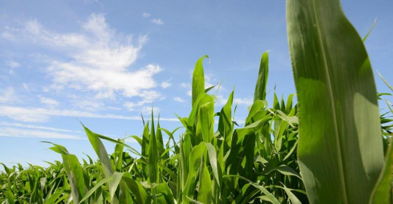 Move over, corn silage; forage sorghums have arrived
