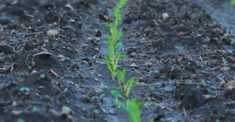 Emerging corn plant