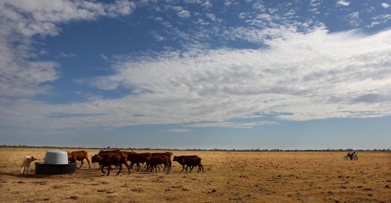 No slowdown yet for Australian beef exports as Aussie cowherd looks to rebuild