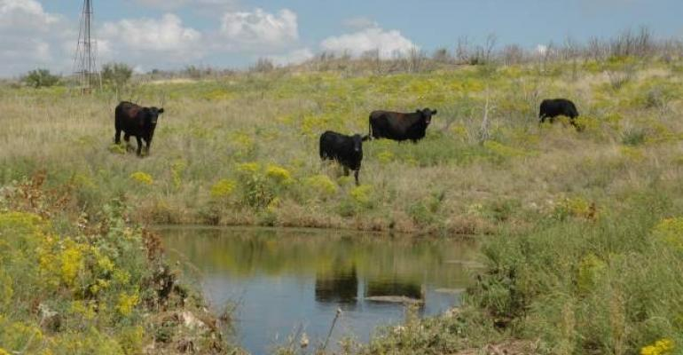 cattle at water