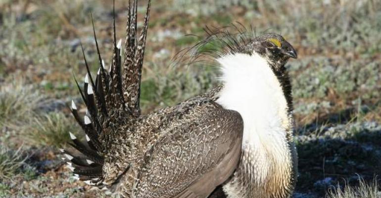 Sage grouse, Western ranchers dodge the ESA bullet, sort of