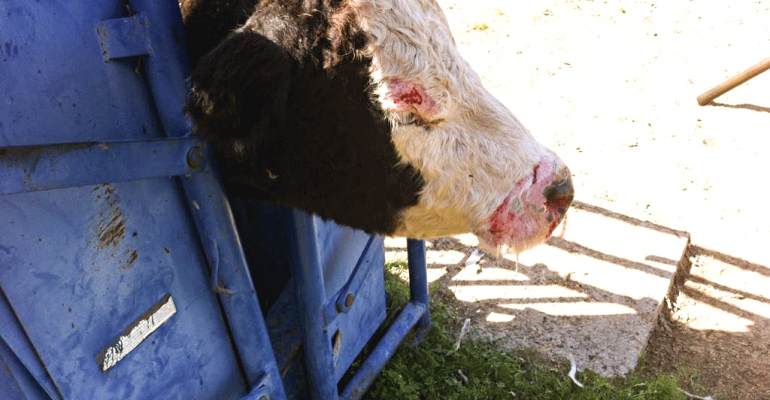Why photosensitization in cattle can be a serious problem