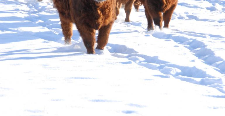 5 factors affecting winter supplementation in beef cattle