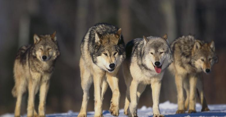 Coping with wolves in Wisconsin: Part 2