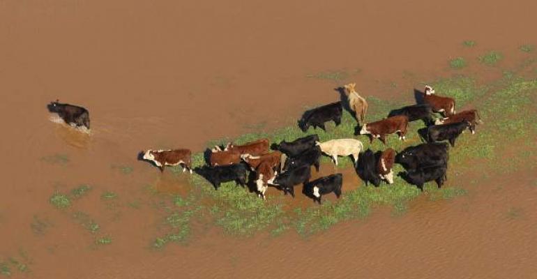 stranded cattle