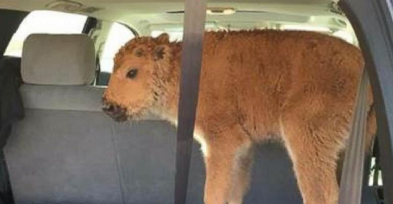 How the media got it wrong about the euthanized Yellowstone bison calf