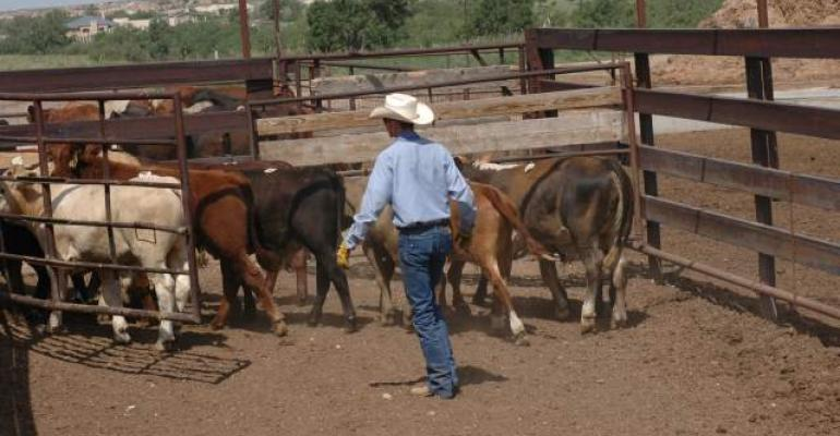 Lowstress cattle handling
