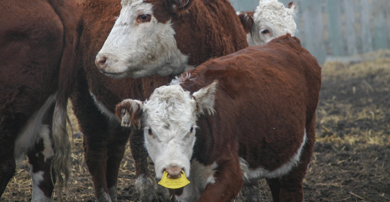 One of the lowstress weaning methods that Joe Stookey and his team developed is nose flaps that keep the calf from getting to mamarsquos milk while still being around mama This mimics the way nature weans the young