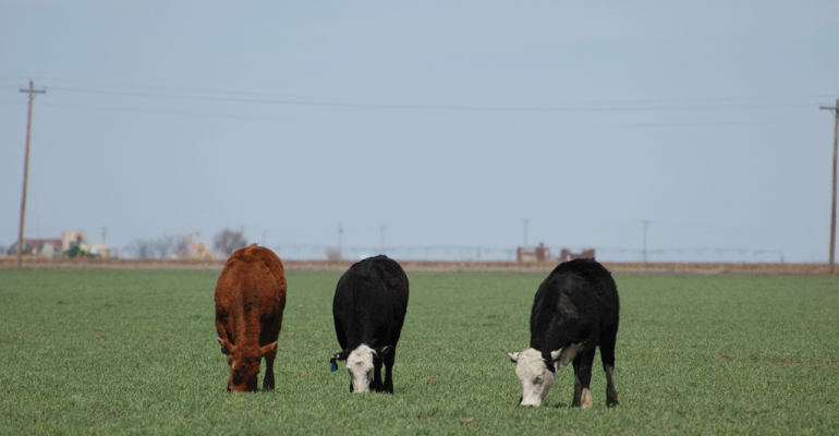 Pay special attention to the mineral needs of stockers on wheat pasture The growing wheat can be deficient in calcium making this a particularly important addition to the mineral program