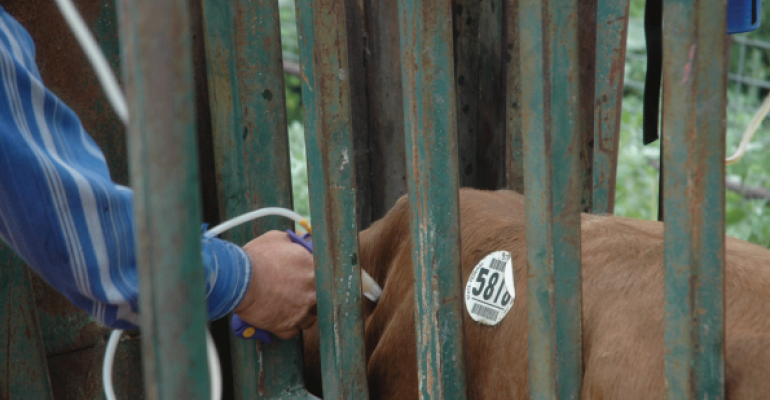 Giving cattle injections? Do it right | Beef Magazine