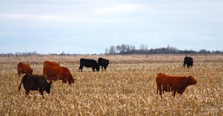4 tips for grazing corn stalks this fall