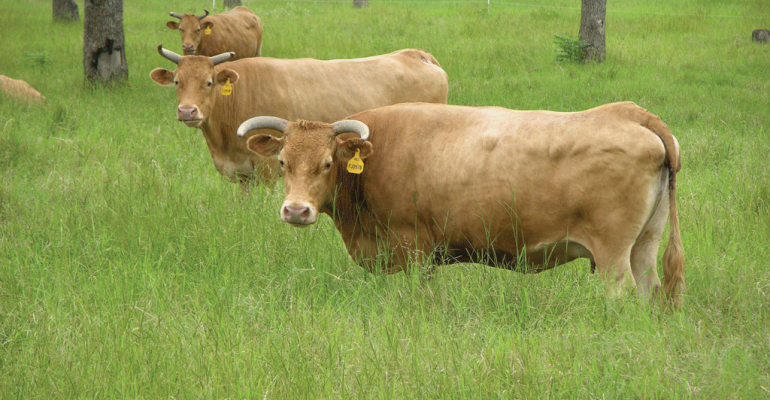 Old cows grazing