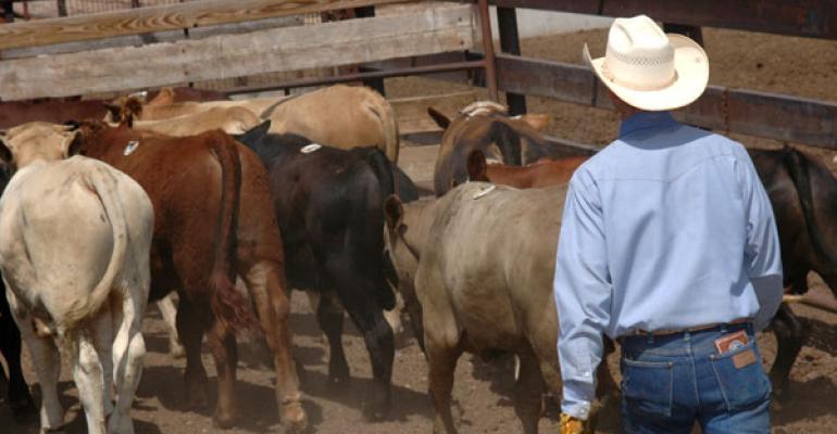 Working stocker cattle